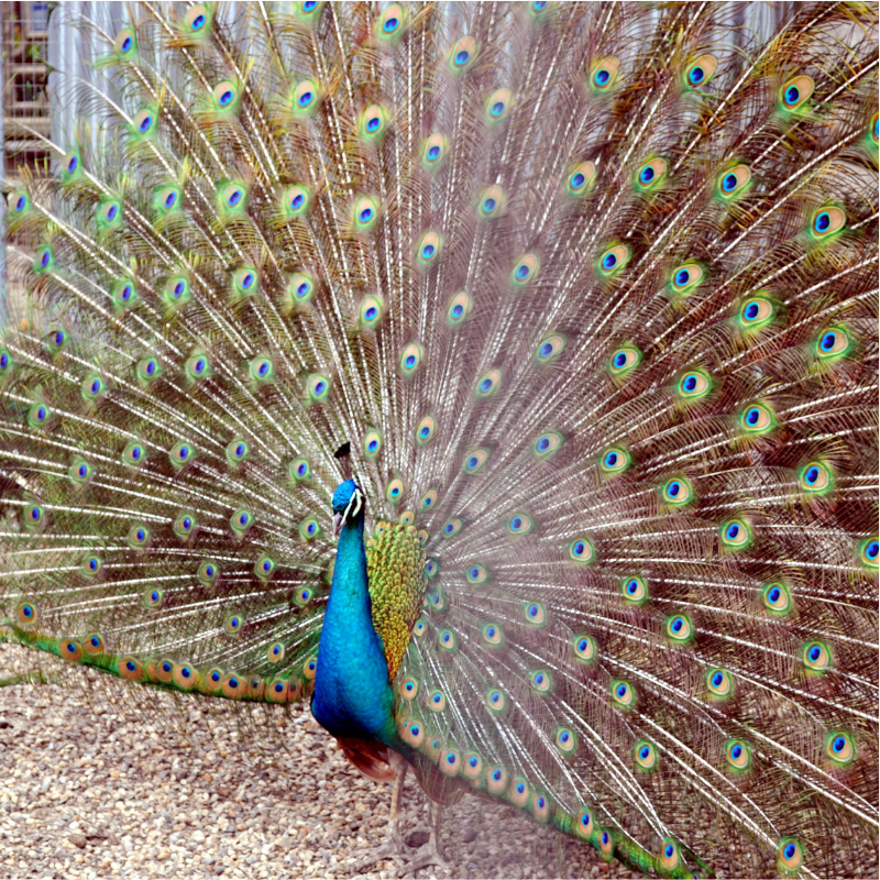 Bright blue peacock with beautiful feathers spread wide